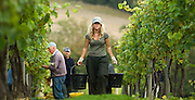 A female picker walks up an avenue of Pinot Noir vines after collecting some of the 2007 crop at Chapel Down Wine's Tenterden Vineyard at the start of the English grape harvest, Tenterden, Kent, U.K., Friday, Oct 5, 2007. Photographer: Ady Kerry/Bloomberg News