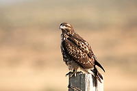 A Red Tailed Hawk sits on a fence post in Idaho State this bird is banded and part of someones study.