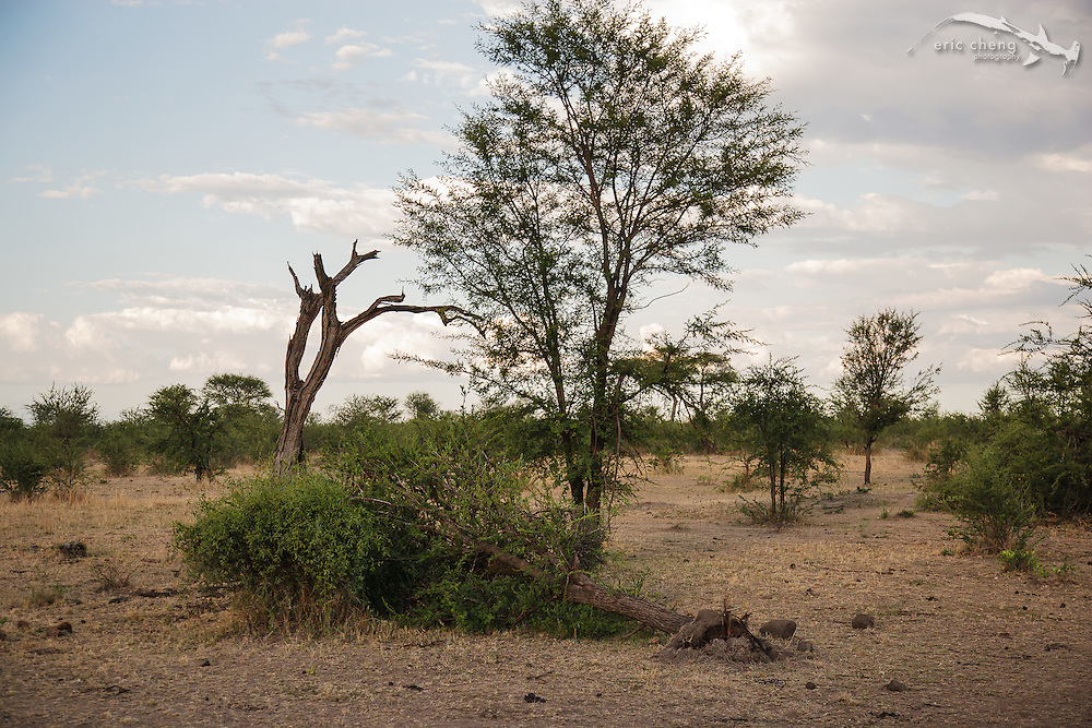 A tree knocked over by an elephant. Serengeti, Tanzania.