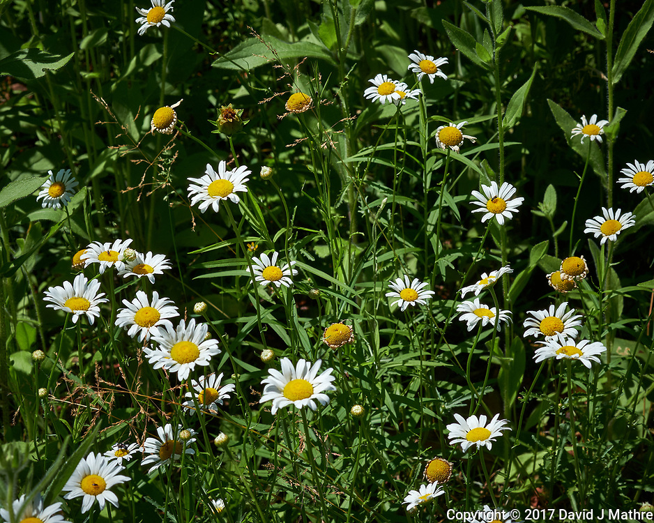 Field of Daisy flowers. Backyard spring nature in New Jersey. Image taken with a Fuji X-T2 camera and 60 mm f/2.4 macro lens (ISO 200, 60 mm, f/11, 1/350 sec).