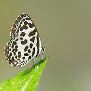 The Common Pierrot,  Castalius rosimon rosimon.