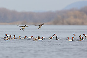 Canvasback ducks landing on a shallow lake.