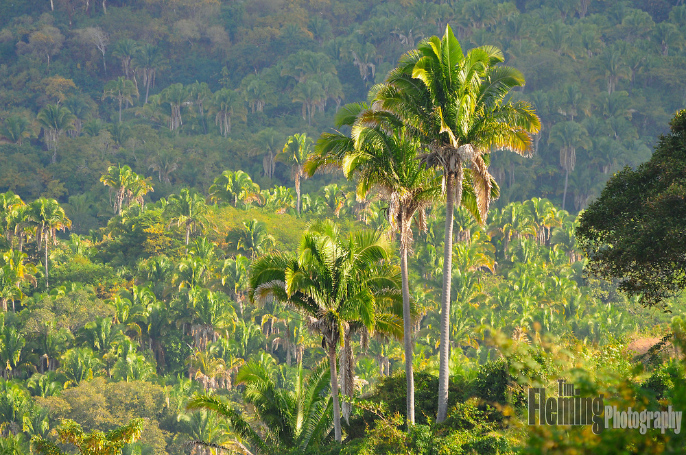 A jungle of palm trees near Sayulita Mexico