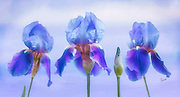beaded irises