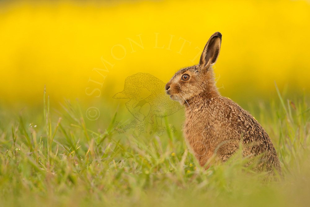 European Hare (Lepus europaeus) juvenile in field margin alongside oilseed rape crop, Norfolk, UK.