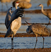 Sandhill Cranes do a mating dance in the early morning light along the Platte River in Nebraska during their annual migration north.