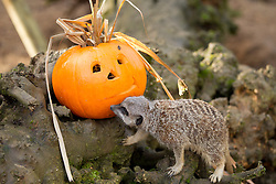© Licensed to London News Pictures. 30/10/2012. London, UK. London Zoo's resident meerkat clan are seen investigating a carved Halloween pumpkin as the animals of London Zoo join in with Halloween festivities in London today (30/12/12). Photo credit: Matt Cetti-Roberts/LNP