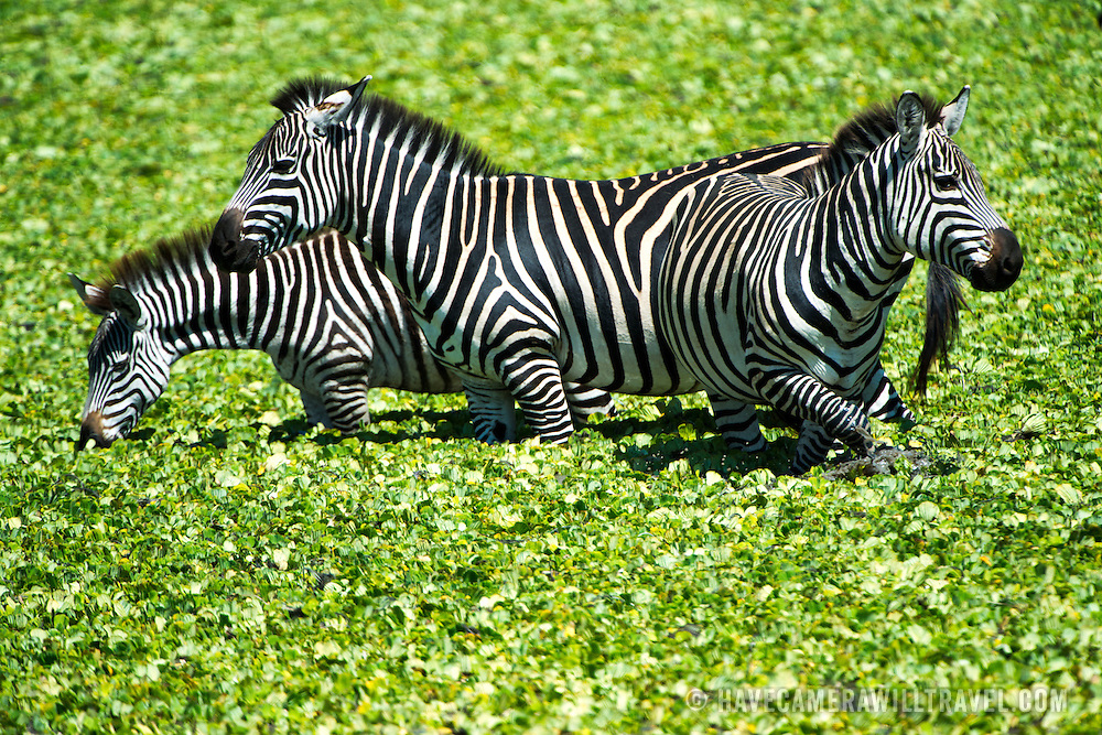 Three zebras wade in the water of a small reed-covered lake at Tarangire National Park in northern Tanzania not far from Ngorongoro Crater and the Serengeti.