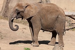 African Elephant (Loxodonta africana), Oakland Zoo, Oakland, California, United States of America