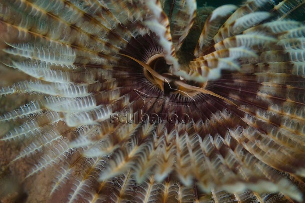 Fan Worm, Sabellastrte indica, Kungkungan Bay Resort, Lembeh Strait, North Sulawesi, Indonesia.