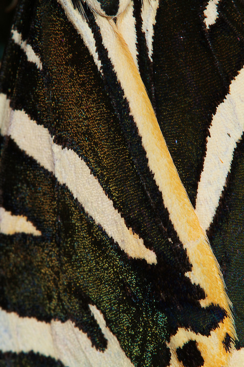Close-up of the folded wings of a Jersey Tiger (Euplagia quadripunctaria). Pont-du-Chateau, Auvergne, France.