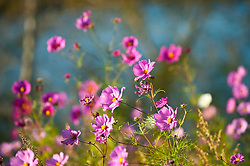 Wild cosmos flowers in golden sunlight