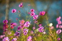 Wild cosmos flowers in golden sunlight