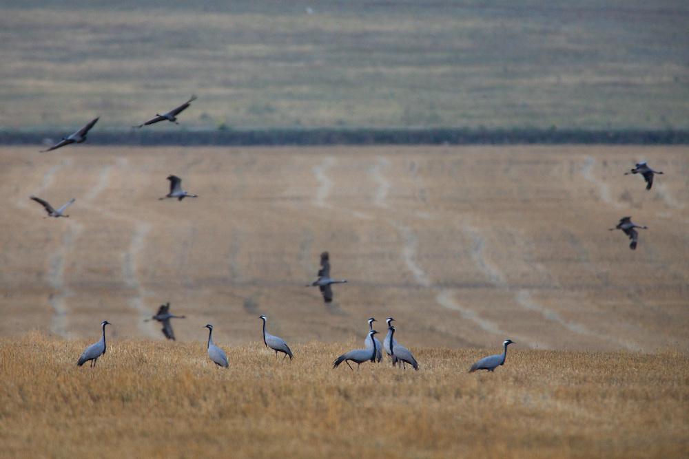 Flock of Demoiselle Cranes feeding on a crop fields, Bagerova Steppe, Kerch Peninsula, Crimea, Ukraine