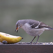 A Northern Mockingbird, Mimus polyglottos, eating a pear. New Jersey, USA.