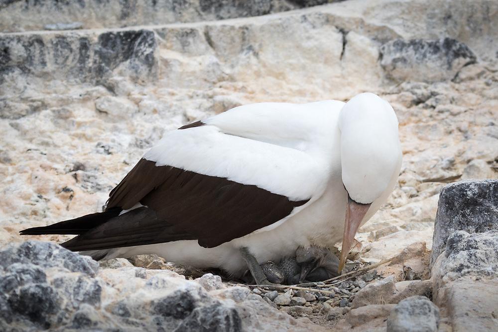 Sula granti, Española Island, Galapagos, Ecuador