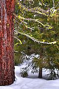 USA, Idaho, Valley County, Moss Covered Limbs of a Ponderosa Pine
