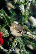 01395-02407 Northern Mockingbird (Mimus polyglottos) in Fir tree in winter Marion Co.  IL