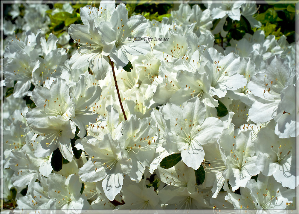 Close up of a white azalea shrub in full flower,  Spring