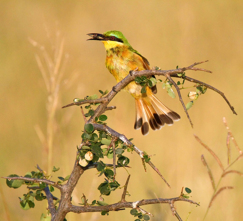 Little Bee-eater (Merops pusillus) perched with a bug in its beak. Tarangire National Park, Tanzania