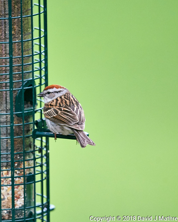Chipping Sparrow at the Bird Feeder. Image taken with a Nikon D4 camera and 600 mm f/4 VR lens