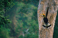 Great Hornbill (Buceros bicornis) at his nest..Khao Yai National Park, Thailand