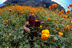 November 4, 2018 - Kathmandu, Nepal - A woman picks marigold flowers to be used during the Tihar festival also called Dipawali. .Tihar is the second biggest festival of Nepal which is devoted to a different animal or object of worship, including cows, crows and dogs. The festival celebrates the powerful relationship between humans, gods and animals (Credit Image: © Sunil Pradhan/SOPA Images via ZUMA Wire)