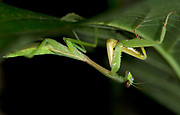 Praying mantis (Hierodula sp.) from Tabin, Sabah, Borneo.