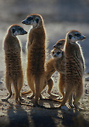 "A group of meerkats (Suricata suricatta) huddle together for warmth in the chill of a winter's morning in the Kalahai. On cold mornings, meerkats ""sunbathe"", exposing their bellies to the sun, the dark skin of which is sparsely covered in hair."