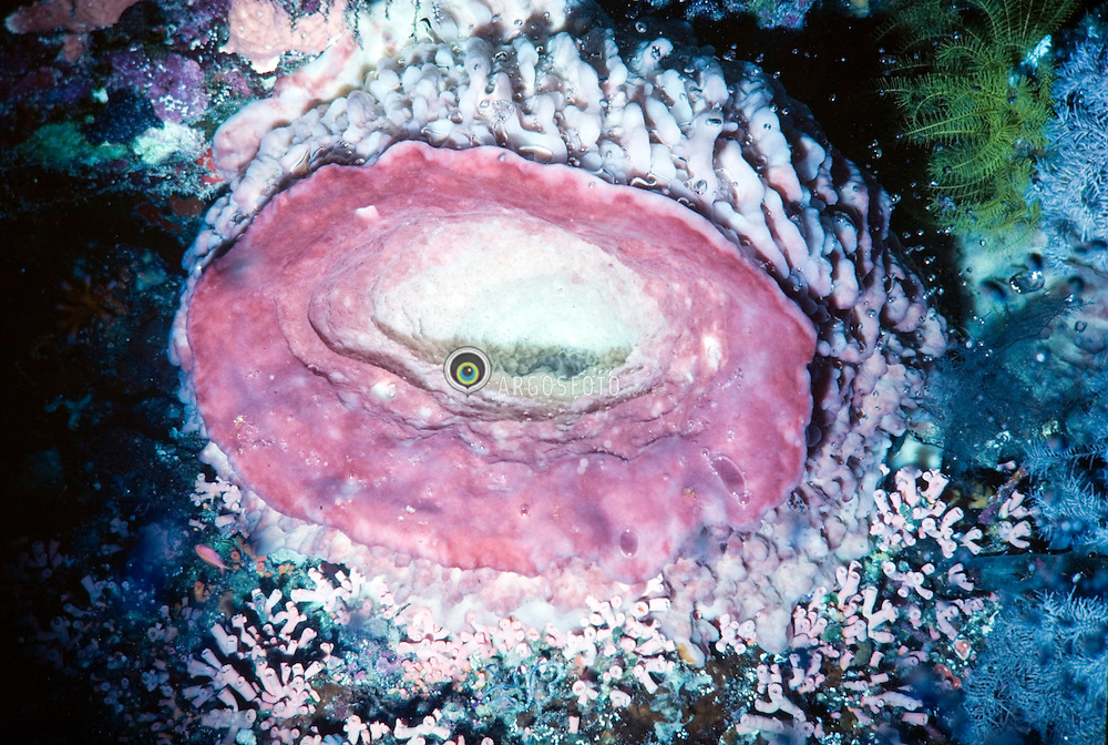 """Esponja na Indonesia, ocorrendo na Australia e mar vermelho..Porifera, filo do reino Animalia, sub-reino Parazoa, onde se enquadram os animais conhecidos como esponjas..Estes organismos sao sesseis, sua grande maioria eh marinha, alimentam-se por filtracao, bombeando a agua atraves das paredes do corpo e retendo as particulas de alimento nas suas celulas. As esponjas estao entre os animais mais simples, com tecidos parcialmente diferenciados, porem sem musculos, sistema nervoso, nem orgaos internos. Eles sao muito proximos a uma colonia celular pois cada celula alimenta-se por si propria. Existem mais de 15.000 especies modernas de esponjas conhecidas, e muitas outras sao descobertas a cada dia. A estrutura de uma esponja eh simples: tem a forma de um tubo ou saco, muitas vezes ramificado, com a extremidade fechada presa ao substrato./The sponges or poriferans (from Latin porus """"pore"""" and ferre """"to bear"""") are animals of the phylum Porifera. They are primitive, sessile, mostly marine, water dwelling, and filter feeders that pump water through their bodies to filter out particles of food matter. Sponges represent the simplest of animals. With no true tissues (parazoa), they lack muscles, nerves, and internal organs. Their similarity to colonial choanoflagellates shows the probable evolutionary jump from unicellular to multicellular organisms. There are over 5,000 modern species of sponges known, and they can be found attached to surfaces anywhere from the intertidal zone to as deep as 8,500 m (29,000 feet) or further. Though the fossil record of sponges dates back to the Neoproterozoic Era, new species are still commonly discovered..Foto:Christiana Carvalho/Argosfoto"""