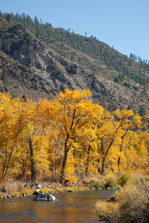 """""""Truckee River in Autumn 13"""" - Photograph of yellow leaved cottonwood trees, taken along the shore of the Truckee River in Autumn."""