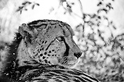 Cheetah (Acinonyx jubatus) can run faster than any other land animal— as fast as 112 to 120 km/h (70 to 75 mph) in short bursts covering distances up to 500m and has the ability to accelerate from 0 to 100 km/h in three seconds.