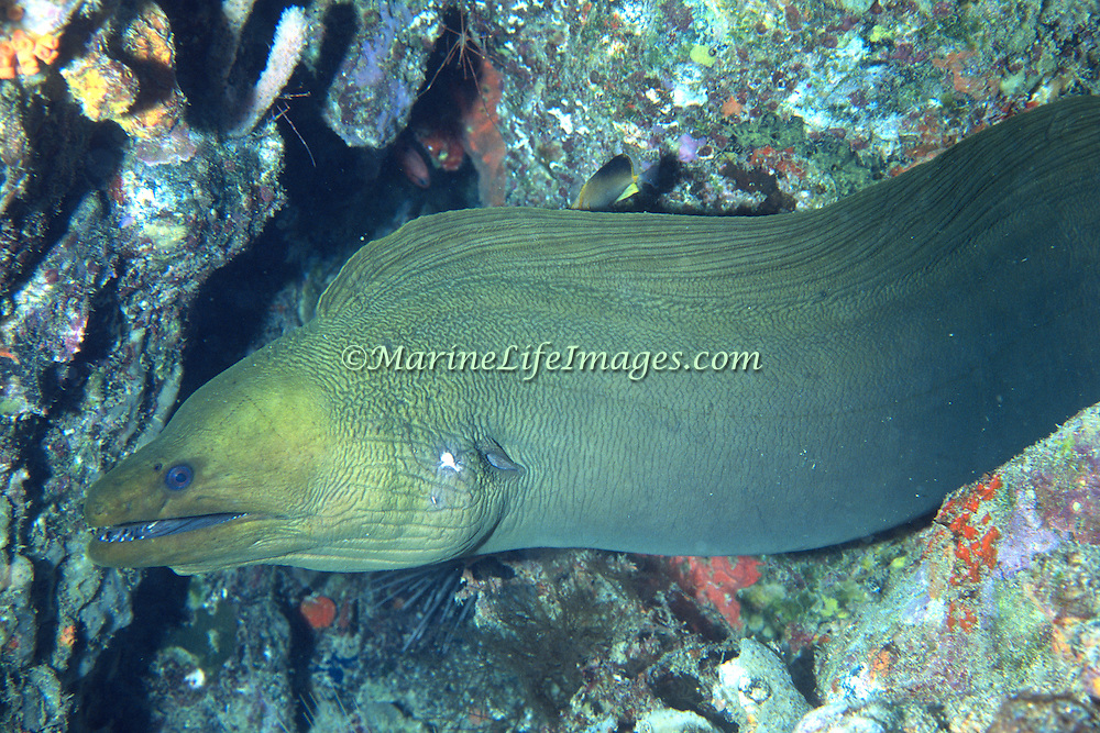 Green Moray inhabit wide range of reefs; hide during day in recesses, often extend head from openings in Tropical West Atlantic; picture taken Grand Cayman.