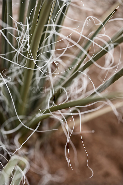 "Closeup Image of the white fibrous ""threads"" of Harriman's Yucca (Yucca harrimaniae, Agave Family). Southern Utah, USA"