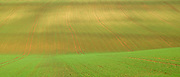 Subtle colour and contours of a crop field in late Spring / early Summer in the Gloucestershire Cotswolds, UK
