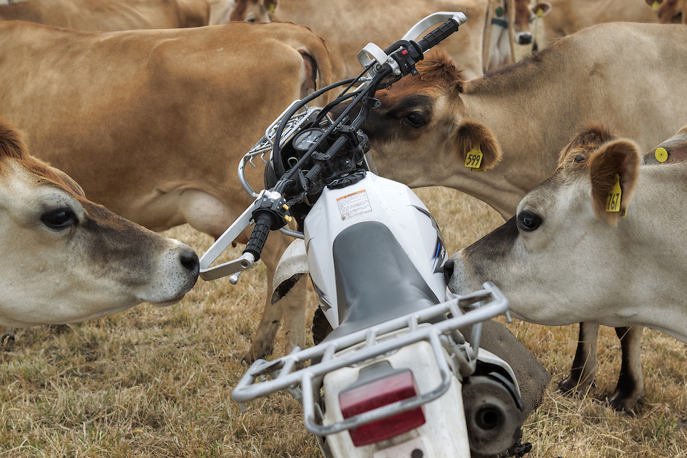 21 year old Jess Westwick's bike &amp; cows, for Australia Day special. Pic By Craig Sillitoe CSZ/The Sunday Age.5/1/2011 melbourne photographers, commercial photographers, industrial photographers, corporate photographer, architectural photographers, This photograph can be used for non commercial uses with attribution. Credit: Craig Sillitoe Photography / http://www.csillitoe.com<br />
