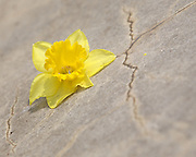 A yellow daffodil broken off from its stalk lays on the concrete on Saturday, April 2, 2011.