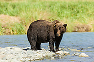 Brown bear (Ursus arctos) in search of spawning salmon along Geographic Creek at Geographic Harbor in Katmai National Park in Southwestern Alaska. Summer. Afternoon.