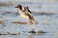 A Green-Winged Teal duck at the Delta Marsh, early Thursday, April 12, 2012. (TREVOR HAGAN)