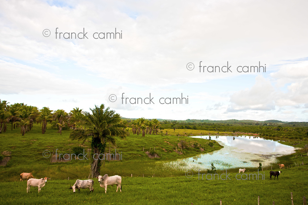cows grazing rice plantation field in bahia state brazil