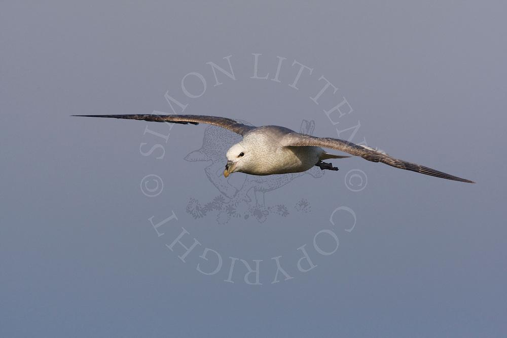 Northern Fulmar (Fulmaris glacialis) adult in flight, Northumberland, England