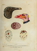 1. Head and Egg of a Cathartes carrion eating bird [Here as Catharthes urubus]  3. Head and egg of a Turkey vulture (Cathartes aura [Here as Catharthes aura]) 5. egg of Polyborus vulgaris. hand coloured sketch From the book 'Voyage dans l'Amérique Méridionale' [Journey to South America: (Brazil, the eastern republic of Uruguay, the Argentine Republic, Patagonia, the republic of Chile, the republic of Bolivia, the republic of Peru), executed during the years 1826 - 1833] 4th volume Part 3 By: Orbigny, Alcide Dessalines d', d'Orbigny, 1802-1857; Montagne, Jean François Camille, 1784-1866; Martius, Karl Friedrich Philipp von, 1794-1868 Published Paris :Chez Pitois-Levrault et c.e ... ;1835-1847