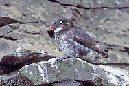 Least Auklet - Aethia pusilla - breeding adult