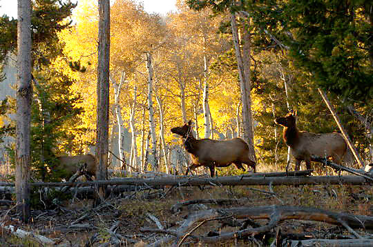 Elk(Cervus canadensis) Bull in rut. Fall. Yellowstone National Park.
