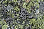 Lichens. Umbilicaria cylindrica (grey), Rhizocarpon geographicum (yellow) und Rhizocarpon alpicola (light yellow). High Tauern National Park, Austria. | Flechten. Umbilicaria cylindrica (grau), Rhizocarpon geographicum (gelb) und Rhizocarpon alpicola (hellgelb). Nationalpark Hohe Tauern, Österreich.
