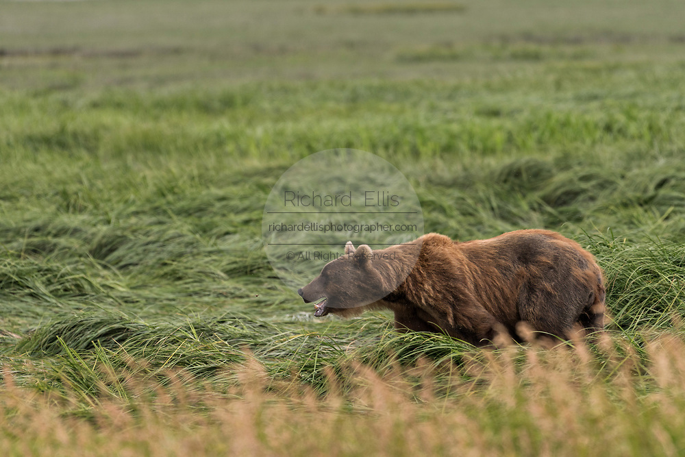A brown bear adult sow known as Bearded Lady walks through sedge grass at the McNeil River State Game Sanctuary on the Kenai Peninsula, Alaska. The remote site is accessed only with a special permit and is the world's largest seasonal population of brown bears in their natural environment.