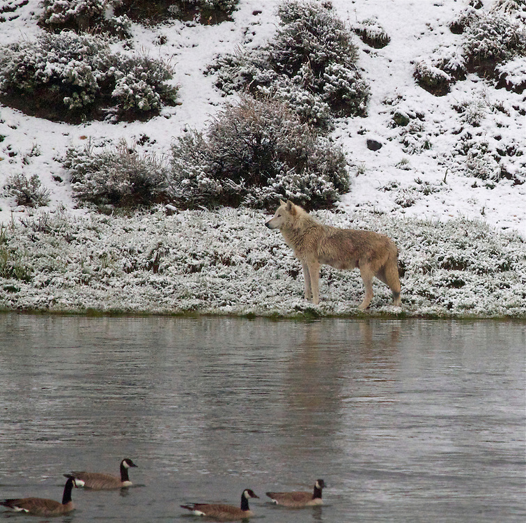 Wolf & Geese, Yellowstone River