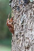 Cicada exoskeleton, New Zealand