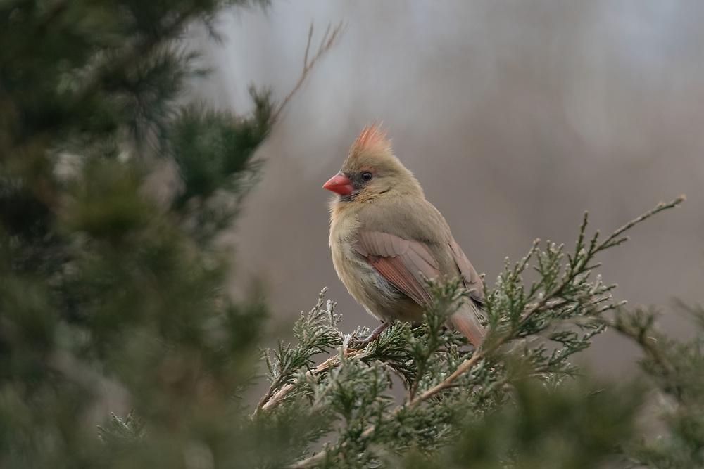 Female northern cardinal (Cardinalis cardinalis), Bernardsville, New Jersey