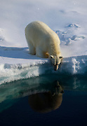 Polar Bear, Ursus Maritimus, on sea ice in the Lincoln Sea, Arctic Ocean, 82 degrees N 34, 61 degrees west 13 on the ice edge.